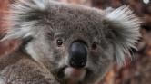 Koala lopta el a show-t a focistáktól