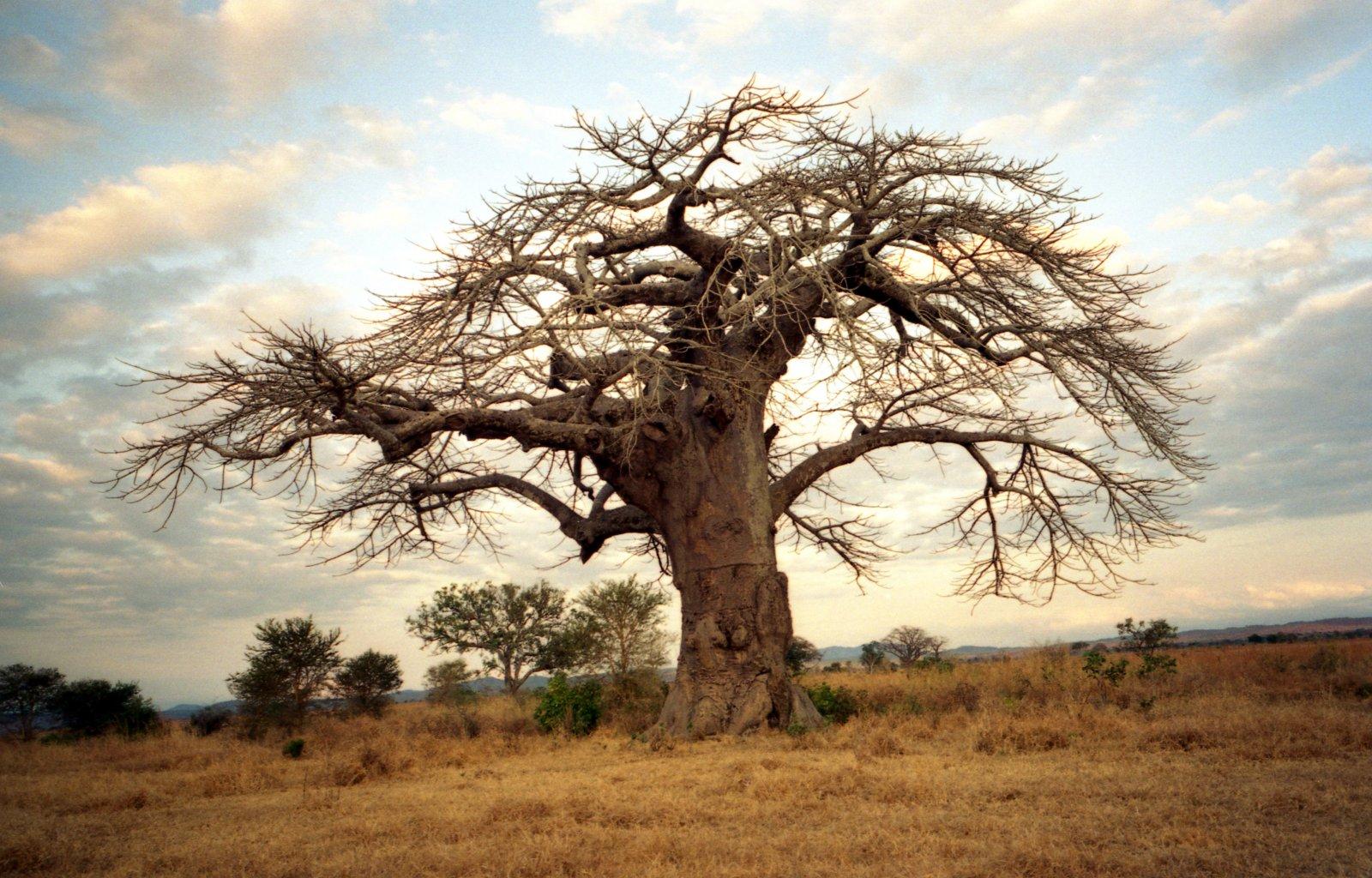 06_baobab__www-freeimages-com
