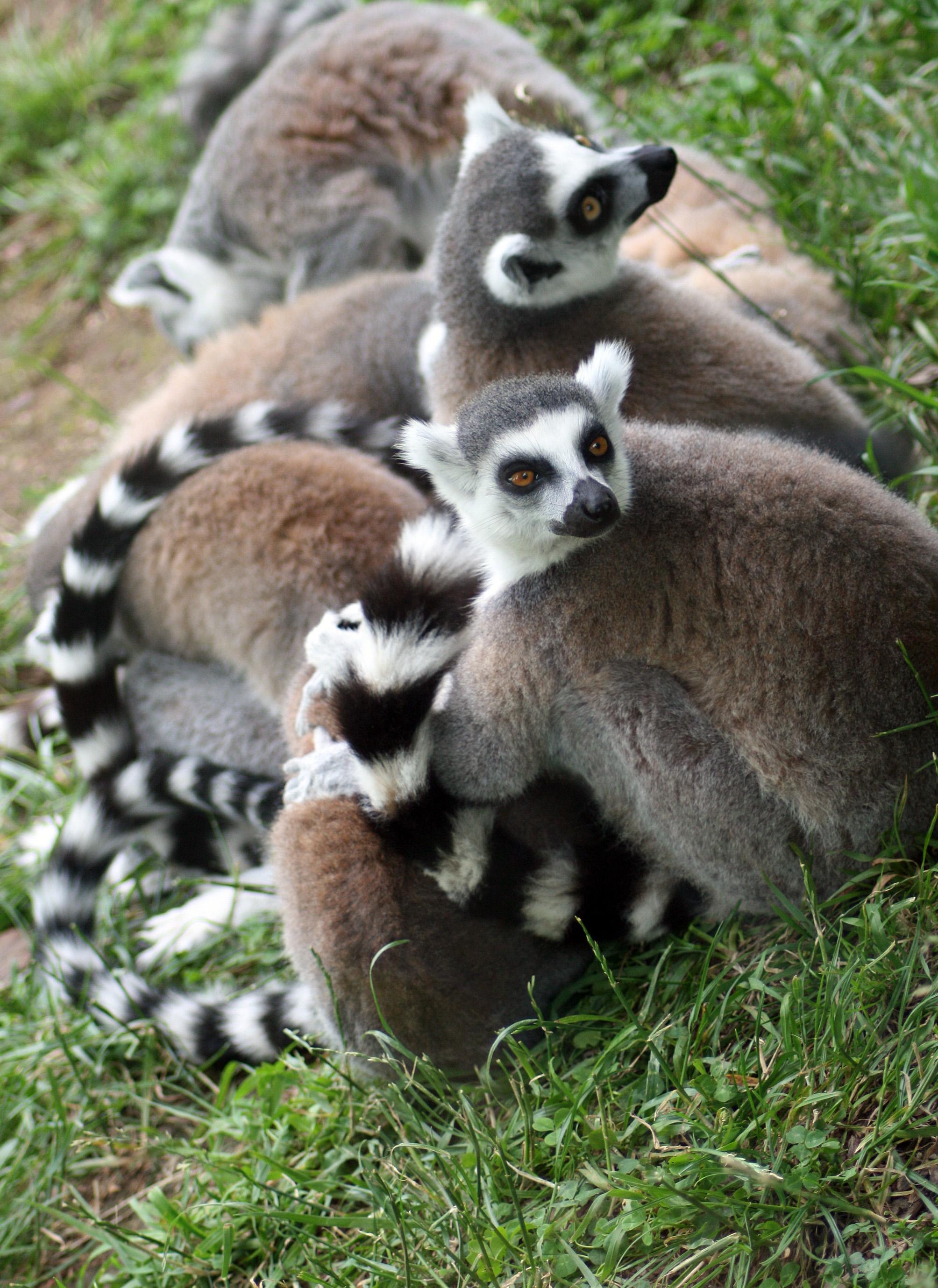 08_lemur__www-freeimages-com