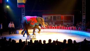 Menhely cirkuszi elefántoknak