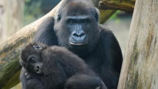 David Attenborough: Üvegfal helyett kukucskálólyukat az állatkertekbe!