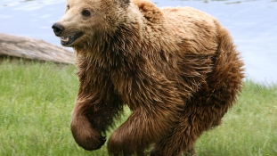 Megzavarta a nászt – dühös medve támadt egy futóra