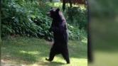 Lenyilazták a híres, két lábon járó medvét