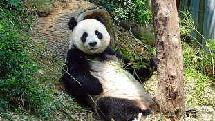 Meghalt a világ legidősebb pandája