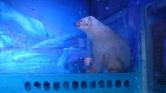 Rettenet – Kínában plázában mutogatják a jegesmedvét