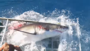 Majdnem elkapta a cápa a búvárt – videó