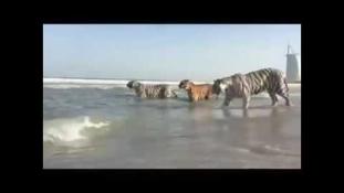 Hihetetlen videó – öt tigris hancúrozott a dubaji strandon