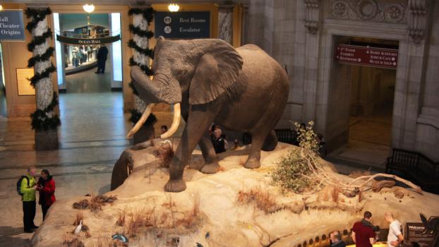 db8b8a99caad A Fénykövi-elefánt – így ejtette el 1955-ben egy magyar vadász a világ  legnagyobb állatát | Globoport