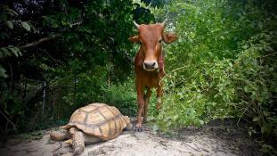 Elválaszthatatlanok – a teknős és a sérült borjú barátsága