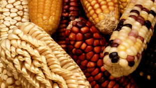 Bejöhet-e genetikailag módosított élelmiszer Kanadából a most aláírt szabadkereskedelmi szerződés következtében?