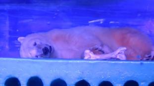 Kiszabadul Pizza, a legszomorúbb jegesmedve