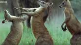 Keresd a nőt, avagy miért bokszolnak a kenguruk – videó