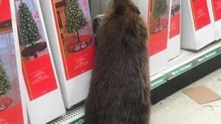 Ez a hód besétált egy üzletbe karácsonyfáért