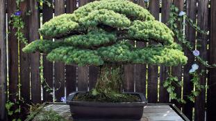 Hirosimát is túlélte a világ legidősebb bonszaifája
