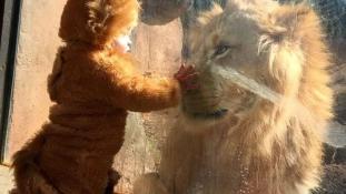 Csütörtöki szívmelengető: meglepődött az oroszlán a sörényes kisfiú láttán