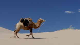 Így vigasztalja meg a teve a magányos szaúdi öregembert