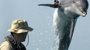 Új küldetést kaptak az amerikai haditengerészetnél szolgáló delfinek