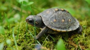 Több, mint 6000 teknőst mentettek meg attól, hogy levesben végezzék