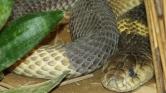 Jó üzlet a kígyófarm, de egy kicsit veszélyes