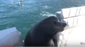 Óriásfóka reggelizett egy mexikói hajón – videó
