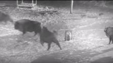 Farkasok támadtak egy bölénycsordára – hiába (videó)