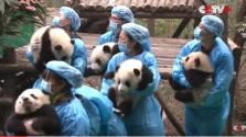 Holdújév-köszöntés pandamódra – videó