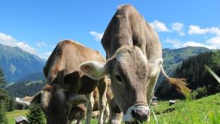 A tehenekért akciózott, ezért nem kapott állampolgárságot az állatvédő nő Svájcban