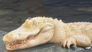 Fehér aligátor? Ilyet is csak Floridában láthat!
