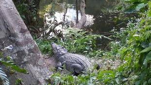 Szelfi krokodilussal – a vigyázatlan nőt kórházban ápolják