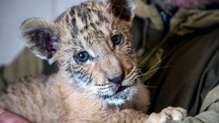 Cár, akit tigrisanya szült egy oroszlánpapától – videó
