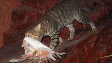 Kétmillió macskát akarnak eltenni láb alól Ausztráliában