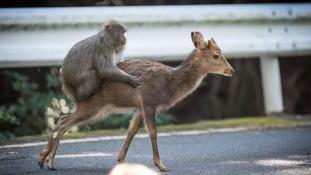 Őzsutánál próbálkozott a majom, de nem jött össze neki