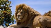 Három oroszlán marta halálra az állatorvost és asszisztensét