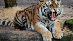 Halálra mart egy tigris egy vigyázatlan férfit az állatkertben – videó