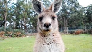 Őrület: az ausztrál kormány kenguruk, vombatok és koalák háziasítására sarkallja a lakosságot