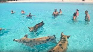 Pusztulnak a malackák a Bahamák világhírű Malac-szigetén