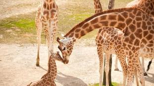 Egész Belgium imádja az új zsiráfbébit – videó