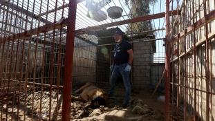 Élet-halál harc – menteni próbálják a moszuli állatkert utolsó két lakóját