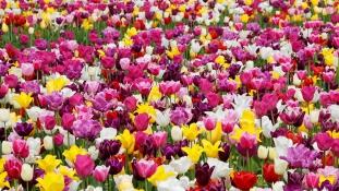 Holland mintára tulipánmező lesz Milánó közelében