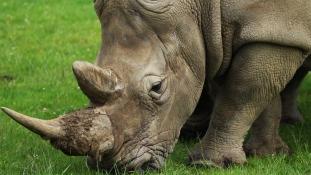 Brutálisan végeztek egy orrszarvúval egy Párizs melletti állatkertben – videó