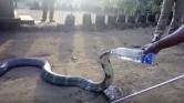 Az életveszélyes királykobra palackból issza a vizet – videó