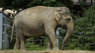 Ormányával ölte meg gondozóját az elefánt