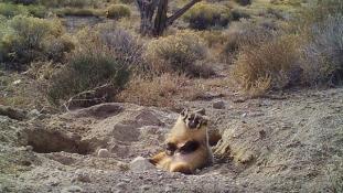Egy egész tehenet ásott el ez a kicsi borz Amerikában – videó