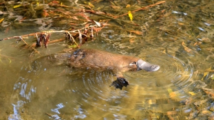 Kacsacsőrű emlősök gyilkosait keresik Ausztráliában