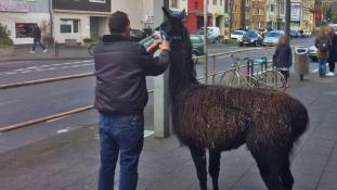 Lámák, pónik, szamarak és törpebikák szabadultak Köln utcáira egy állatsimogatóból