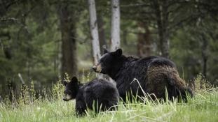 A telefonján követheti a medvéket a Yosemite Nemzeti Parkban