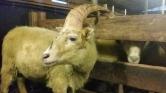 Egyszarvú kos vagy kecske?