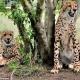 Gepárd ugrott egy fiatal nőre egy dél-afrikai szafari parkban – videó
