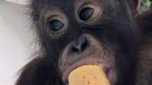 Visszatoloncolták hazájába a drogfüggő majmot