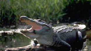 Az életéért evezett a kajakos, akit egy aligátor üldözött – videó